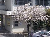 主人公を待つ八重桜